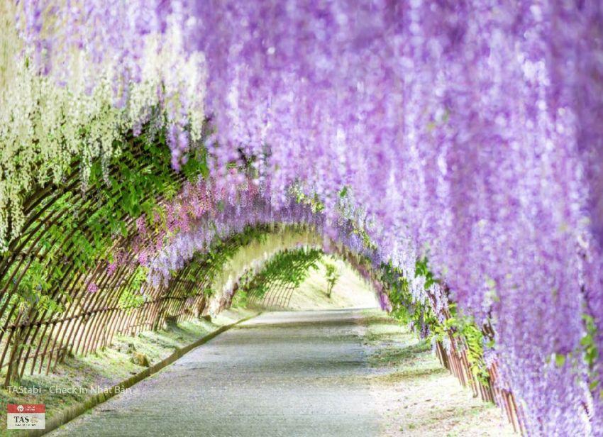 Khám phá vườn hoa tử đằng đẹp nhất Nhật Bản